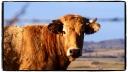 Vache sur le chemin des Abiouradous