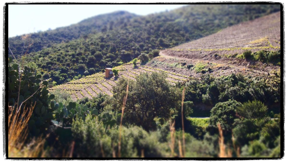 Les chemins vignerons de Collioure et Cerbère